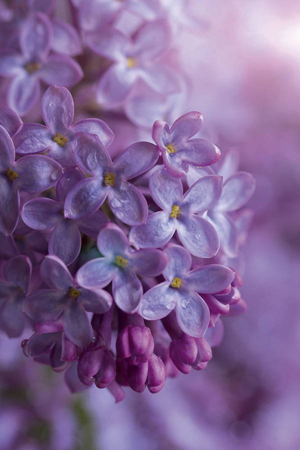 Branch of a lilac