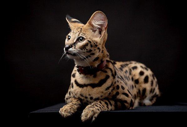 Leptailurus serval